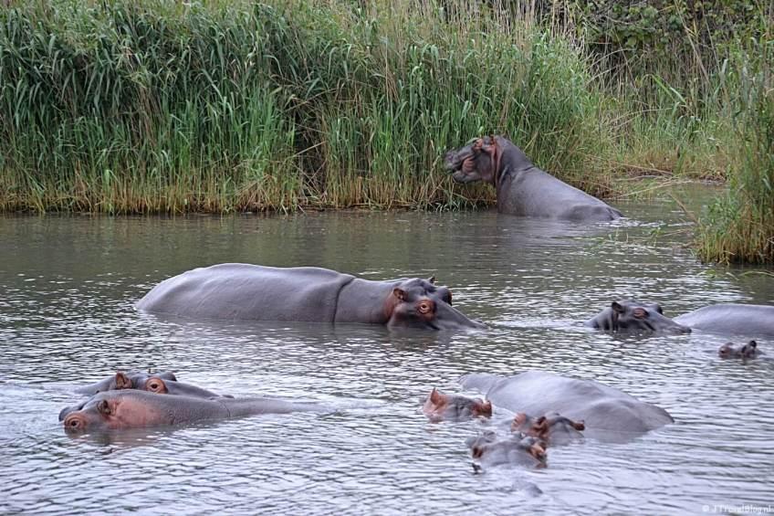Nijlpaarden in iSimangaliso Wetland Park nabij St. Lucia