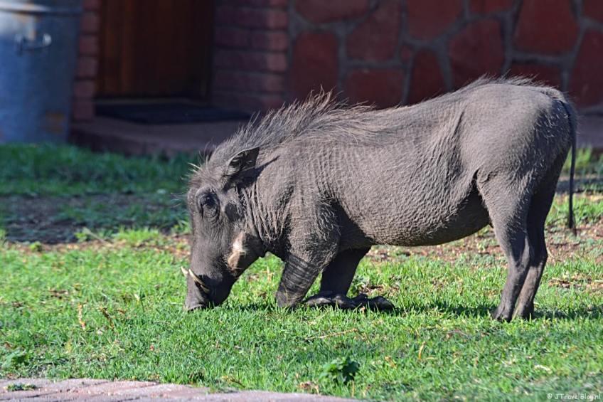 Een wrattenzwijn voor de kamers in het Waterberg Resort op dag 20 van mijn 22-daagse rondreis door Zuid-Afrika en Namibië