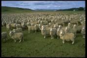 sheep[1]