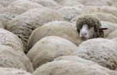 sheep_q_rtr1uqxi_12244[1]