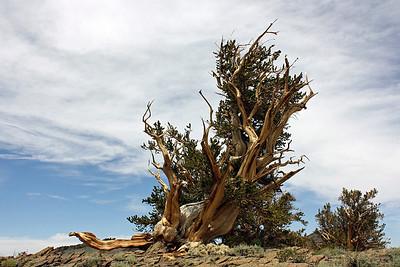 Bristlecone Pine; Inyo National Forest, 11,000 feet, White Mountains, California