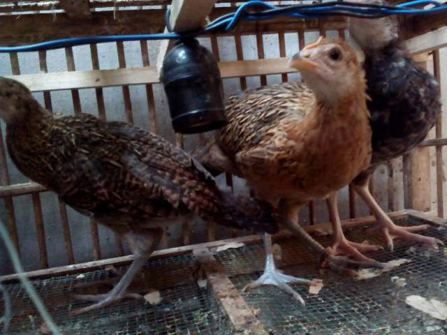 Ayam Bekisar 2 betina 1 jantan umur 2 bulan
