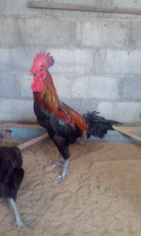 Gambar Ayam Pelung Jantan Trah Cianjur