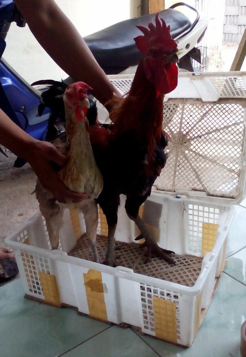 Sepasang Ayam Pelung