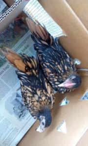 Ayam Batik Kanda Umur 4 Bulan (2)