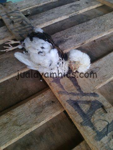 Anakan Ayam Polan Mati