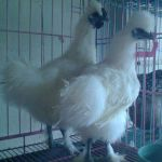 2. Ayam Kapas Dewasa 9  Jual Ayam Hias HP : 08564 77 23 888 | BERKUALITAS DAN TERPERCAYA  Galeri Foto