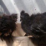 2. Ayam Kapas Hitam Umur2 Bulan 1  Jual Ayam Hias HP : 08564 77 23 888 | BERKUALITAS DAN TERPERCAYA  Galeri Foto