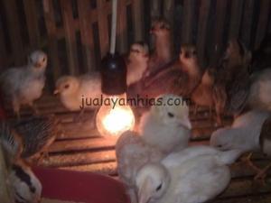 Anakan Ayam Ketawa