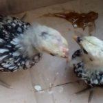 Ayam Batik Itali Umur 1 Bulan  Jual Ayam Hias HP : 08564 77 23 888 | BERKUALITAS DAN TERPERCAYA  Galeri Foto