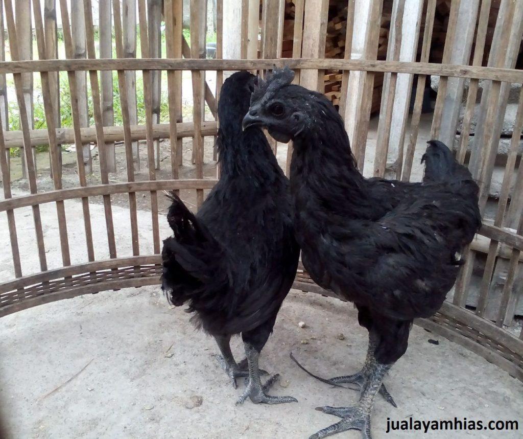 Ayam Cemani Usia 4 Bulan