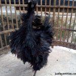 Ayam Cemani Walik Umur 5 Bulan 4  Jual Ayam Hias HP : 08564 77 23 888 | BERKUALITAS DAN TERPERCAYA  Galeri Foto