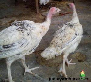 Ayam Golden Palm Umur 5 Bulan Kalkun Golden Palm Jual Ayam Hias HP : 08564 77 23 888 | BERKUALITAS DAN TERPERCAYA Kalkun Golden Palm Pengiriman Ayam Kalkun Golden Palm Pesanan Pak Hambali di Pati Jawa Tengah