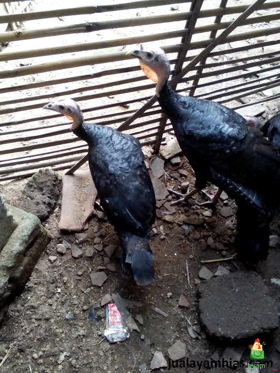 Ayam Kalkun Black Spanish Umur 5 Bulan Mengenal Asal Mula Ayam Kalkun Black Spanish Jual Ayam Hias HP : 08564 77 23 888 | BERKUALITAS DAN TERPERCAYA Mengenal Asal Mula Ayam Kalkun Black Spanish Mengenal Asal Mula Ayam Kalkun Black Spanish Serta Tata Cara Pemeliharaan Ayam Kalkun yang Baik dan Benar