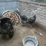 Ayam Kalkun Bronze Dewasa Sepasang