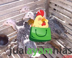 Beberapa Ayam Hias Pesanan Bapak Andi di Maluku