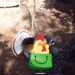 Ayam Kalkun Royal Palm Dewasa 1  Jual Ayam Hias HP : 08564 77 23 888 | BERKUALITAS DAN TERPERCAYA  Galeri Foto