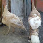 Ayam Kalkun Self Buff Turkey Dewasa  Jual Ayam Hias HP : 08564 77 23 888 | BERKUALITAS DAN TERPERCAYA  Galeri Foto