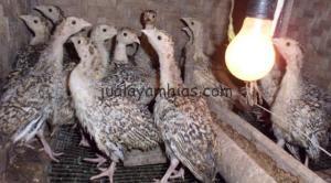 Ayam Kalkun umur 1 bulan