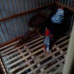Ayam Lady Amhers Pheasent Dewasa Sepasang 3  Jual Ayam Hias HP : 08564 77 23 888 | BERKUALITAS DAN TERPERCAYA  Galeri Foto