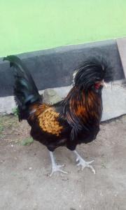 Ayam Mahkota