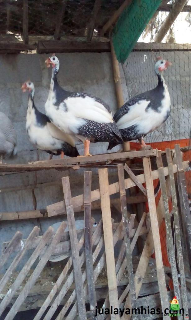 Ayam Mutiara Plangkok Dewasa
