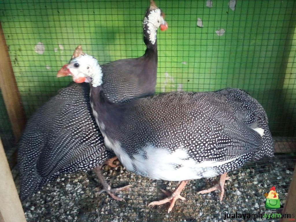 Ayam Mutiara Plangkok Dewasa 3 1 Jual Ayam Hias HP : 08564 77 23 888 | BERKUALITAS DAN TERPERCAYA Mempelajari 4 Faktor Kegagalan dalam Beternak Ayam Mutiara
