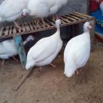 Foto Ayam Mutiara Putih Terbaru