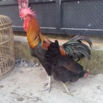 Ayam Pelung Dewasa Jantan 4  Jual Ayam Hias HP : 08564 77 23 888 | BERKUALITAS DAN TERPERCAYA  Galeri Foto