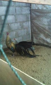 Ayam Phoenix