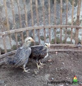 Ayam Phoenix dan Ayam Poland Pesanan Bapak Syamsul di Sragen