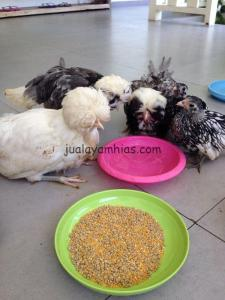 Ayam Polan