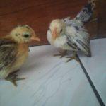 Ayam Serama Usia 1 Bulan