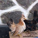 Ayam Serama Umur 3 Bulan 5 1  Jual Ayam Hias HP : 08564 77 23 888 | BERKUALITAS DAN TERPERCAYA  Galeri Foto