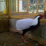 Ayam Silver Pheasent Dewasa 3  Jual Ayam Hias HP : 08564 77 23 888 | BERKUALITAS DAN TERPERCAYA  Galeri Foto
