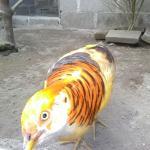 Ayam Yellow Pheasent Dewasa  Jual Ayam Hias HP : 08564 77 23 888 | BERKUALITAS DAN TERPERCAYA  Galeri Foto