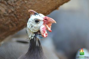 Jengger Ayam Mutiara