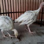 Kalkun Golden Palm Umur 2 Bulan Pesanan Bapak Trisno di Kendari  Jual Ayam Hias HP : 08564 77 23 888 | BERKUALITAS DAN TERPERCAYA  Galeri Foto