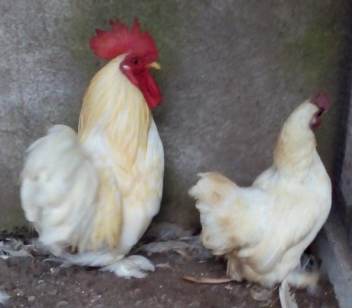 Ayam Chocin