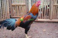 Ayam Bangkok Dewasa Jantan