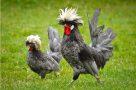 Ayam Polan Abu-Abu