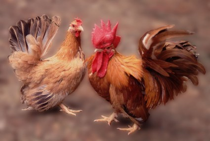 Ayam Kate dan Serama