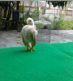 ayam serama Jual Ayam Hias HP : 08564 77 23 888 | BERKUALITAS DAN TERPERCAYA Cara Agar Ayam Serama Mengerami Secara Alami