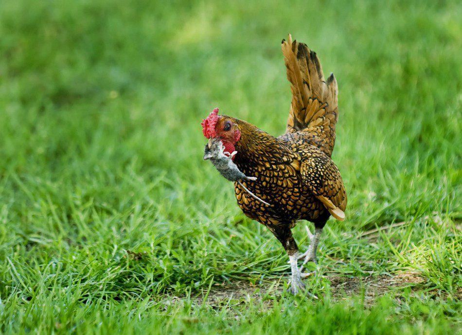 Ayam Batik Kanada Berlari Membawa Tikus