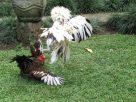 Ayam Jago Di Usaha Peternakan Ayam