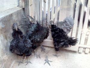 Indukan Ayam Cemani Walik