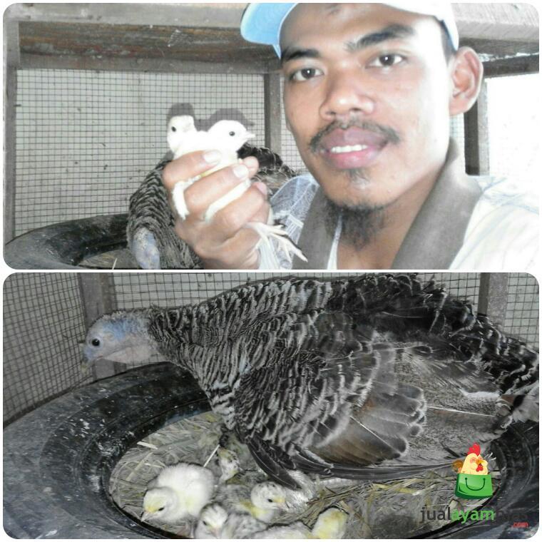 Indukan Ayam Kalkun Pak Hasan di Kramatwatu Serang Banten Sukses Menetaskan Telurnya