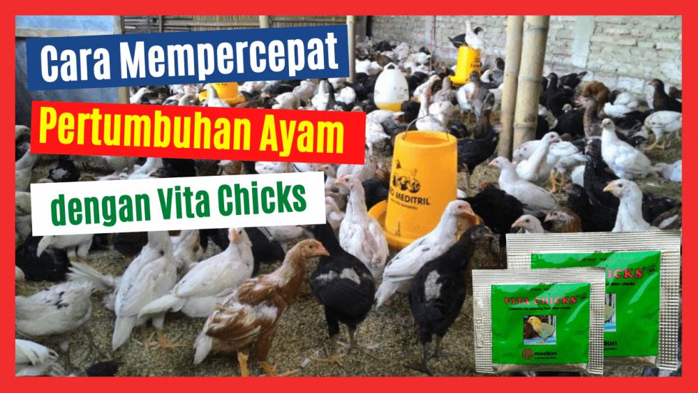 Cara mempercepat pertumbuhan ayam salah satunya dengan memberikan Serbuk Vita Chicks
