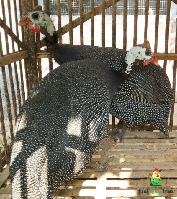 2 Ayam Mutiara Betina Persiapan Berangkat ke Bekasi