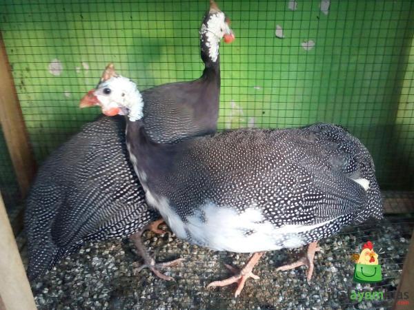 Ayam Mutiara Jenis Plangkok Bersiap Menuju ke Kediaman Pak Susanto di Tatura Utara daerah Palu Selatan